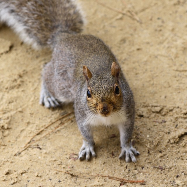 """Squirrel shocked looking at camera"" stock image"