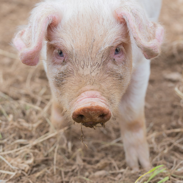 """Piglet close up"" stock image"