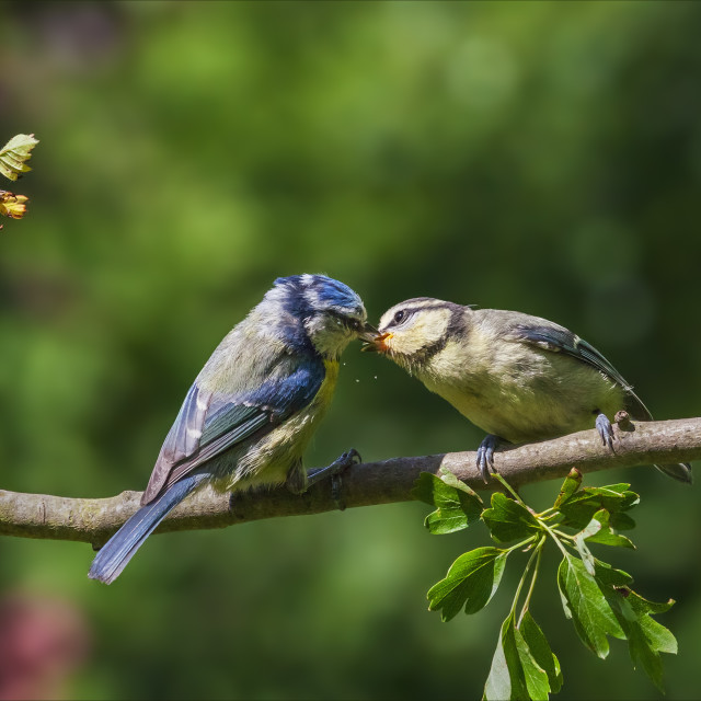 """Blue Tit feeding its youngster"" stock image"