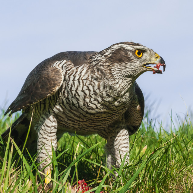 """The mighty goshawk."" stock image"