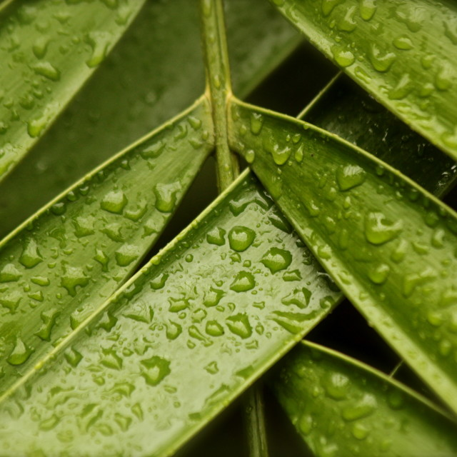"""Water droplets on leaf"" stock image"