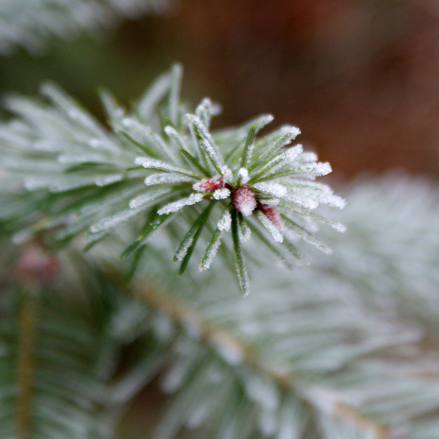 """Frosty Pine needles"" stock image"