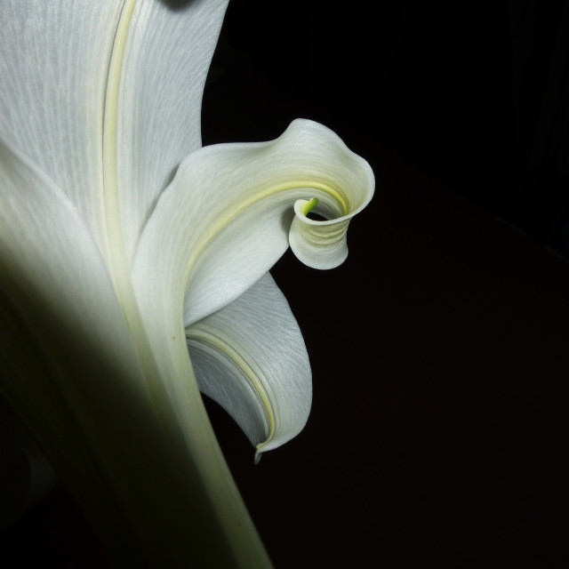 """White lily"" stock image"