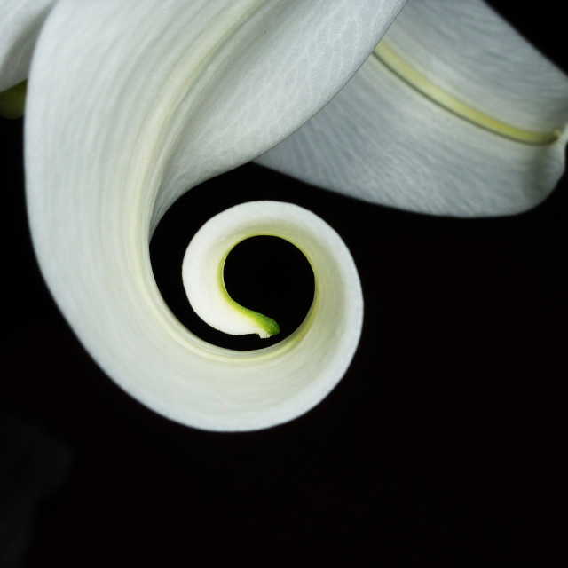 """""""Curly white lily"""" stock image"""
