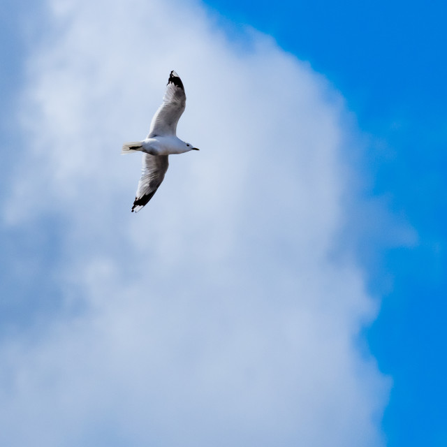 """""""Common gull against white clouds and blue sky"""" stock image"""