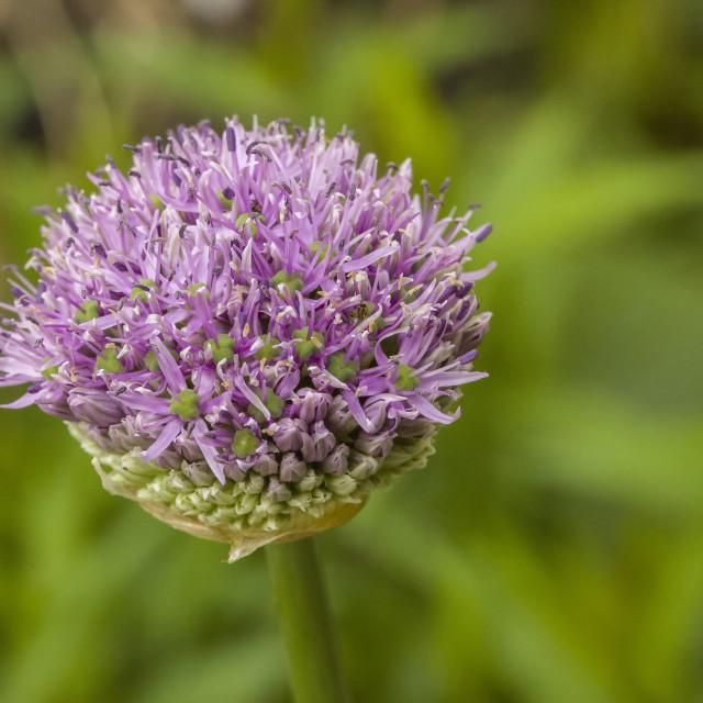 """Onion flower in bud"" stock image"