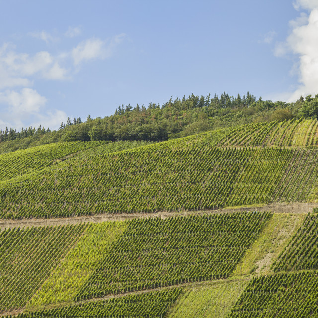 """Vineyards in Germany"" stock image"