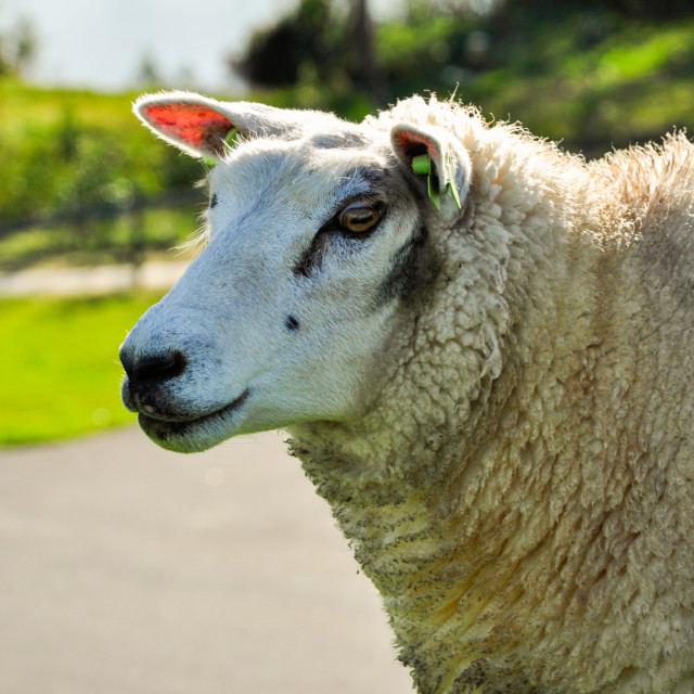 """Sheep-1"" stock image"