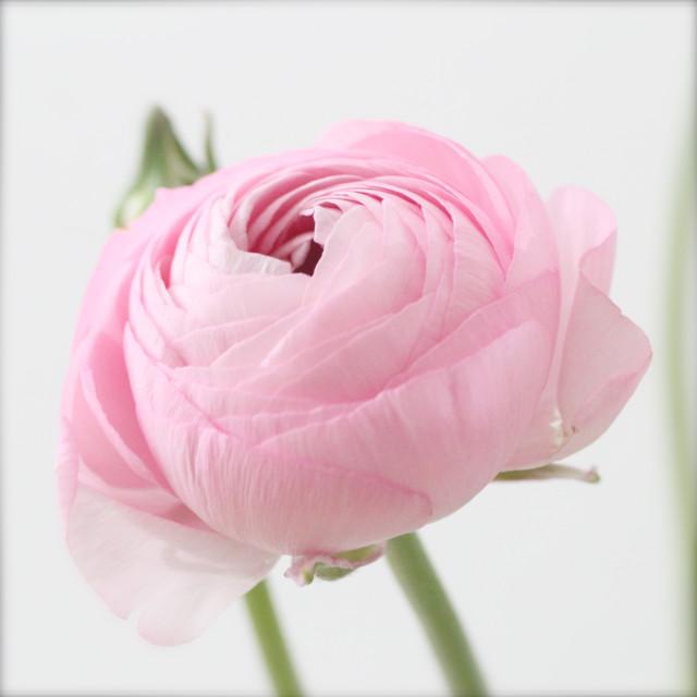 """Ranunculus flower"" stock image"