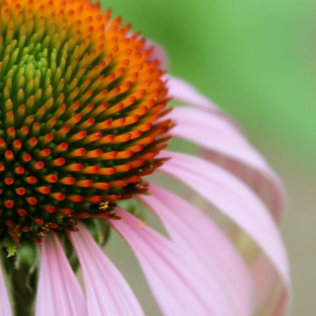 """""""Echinacea flower"""" stock image"""