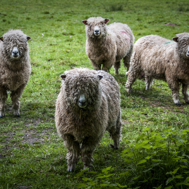 """Cotswold sheep"" stock image"