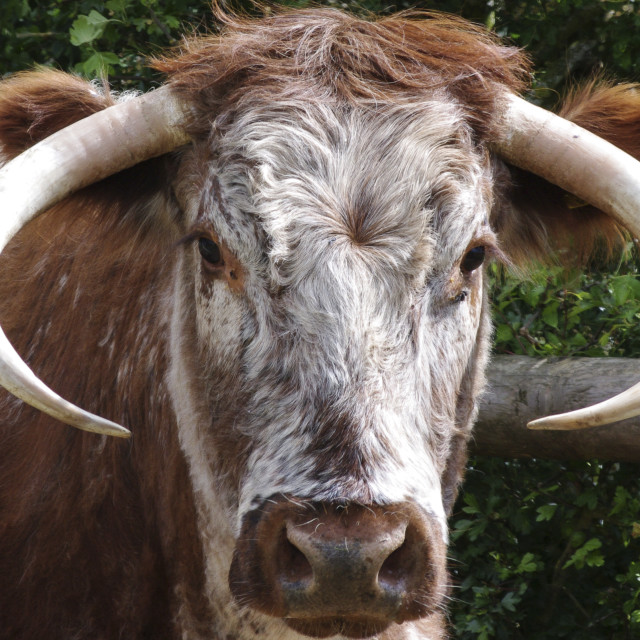 """English Longhorn"" stock image"