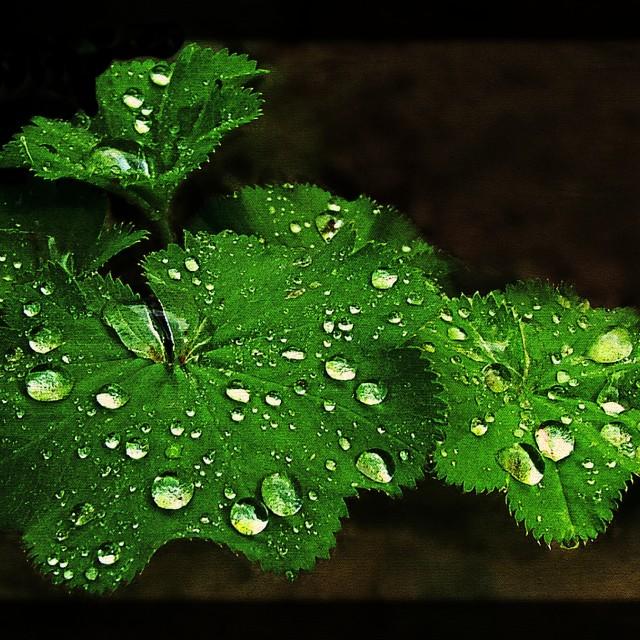 """Alchemilla after the rain"" stock image"