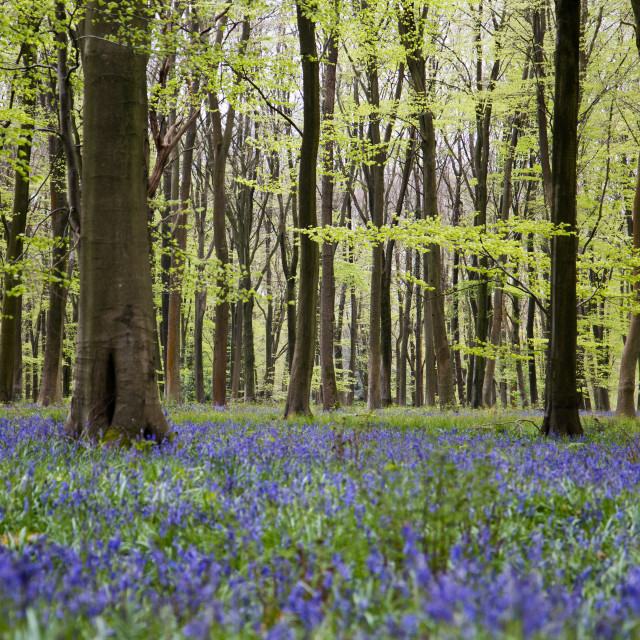 """""""Bluebells in Micheldever Forest"""" stock image"""