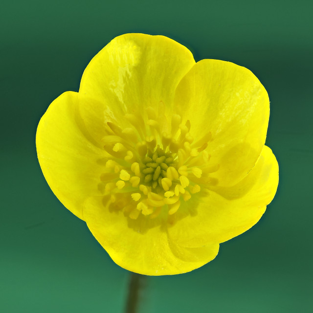 """Ranunculus bulbosa"" stock image"