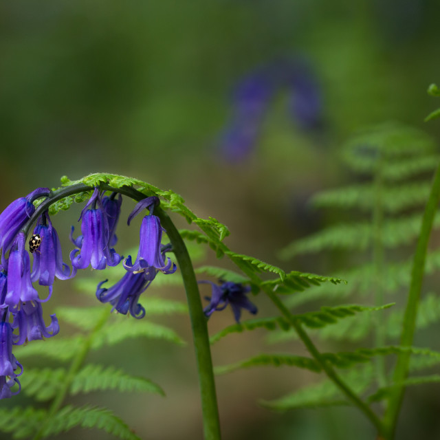 """Bluebells, ferns and ladybird"" stock image"