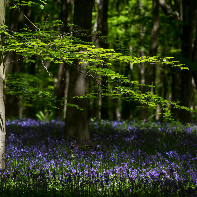 """""""Beech and Bluebells"""" stock image"""