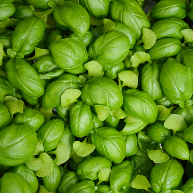 """Fresh green basil leaves"" stock image"