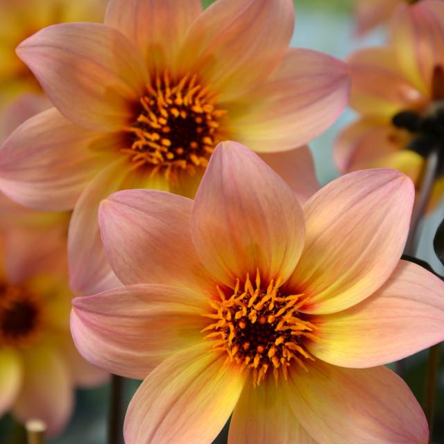 """Orange pink dahlia flowers"" stock image"