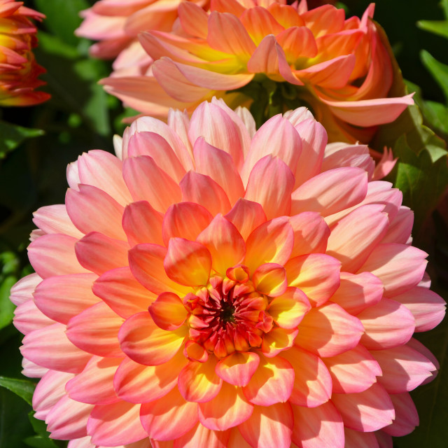 """""""Pink and yellow dahlia flowers"""" stock image"""