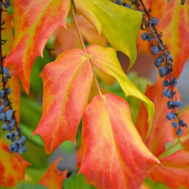 """""""Beautiful autumn leaves and berries"""" stock image"""