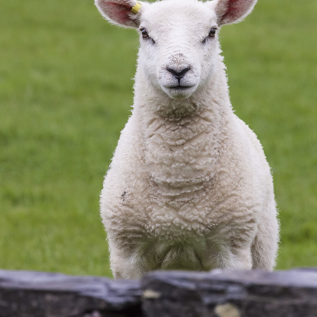 """A Inquisitive Lamb"" stock image"