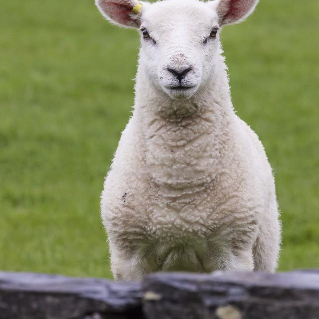 """A Inquisitive Lamb"" stock image"