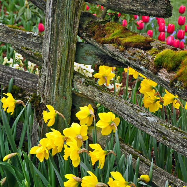 """Beautiful spring daffodils"" stock image"