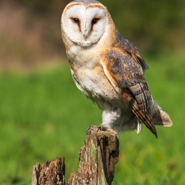 """Beautiful barn owl perched on a tree stump."" stock image"
