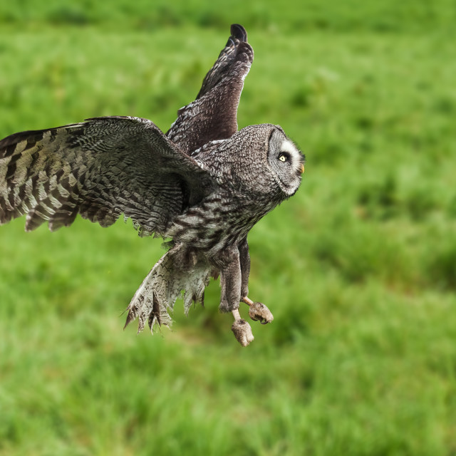 """Great Grey Owl passing by."" stock image"