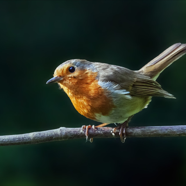 """Cheeky robin on a branch"" stock image"