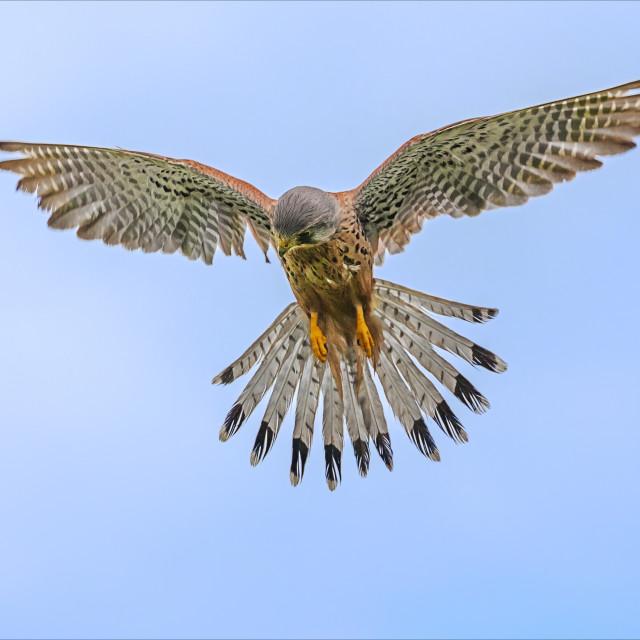 """Kestrel hovering in a blue sky"" stock image"