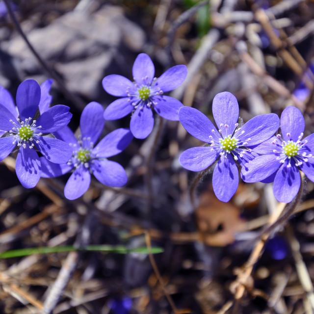 """""""Five blue Hepatica"""" stock image"""