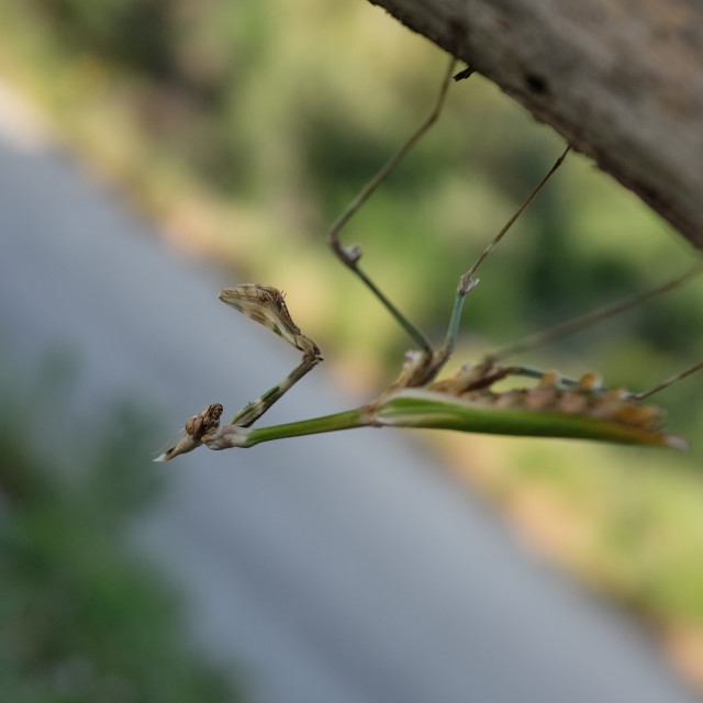 """Praying Mantis Clinging On"" stock image"