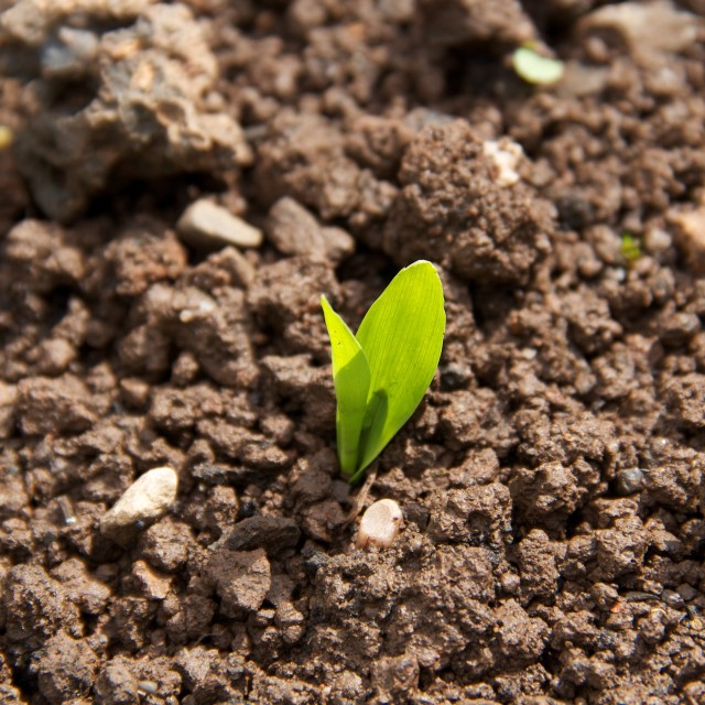 """Germinating corn seed in soil"" stock image"