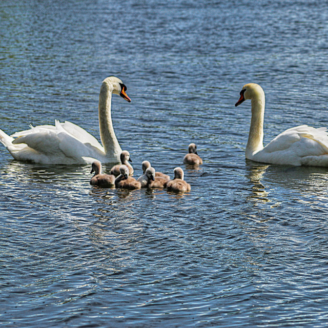 """Swans and Cygnets"" stock image"