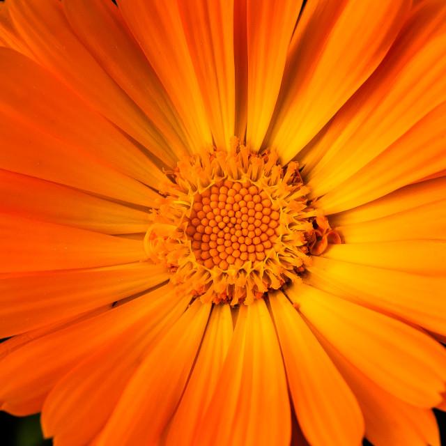 """""""yellow marigold"""" stock image"""