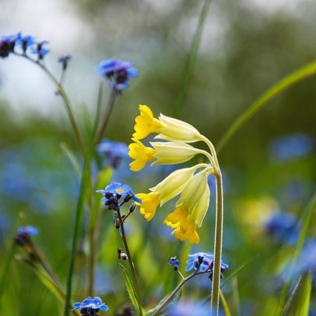 """Blossom cowslip close up"" stock image"