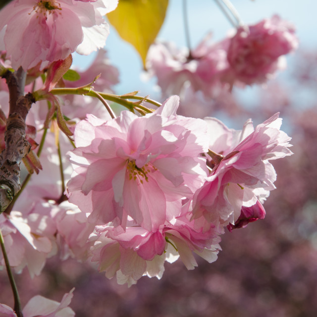 """Cherry blossom close up"" stock image"