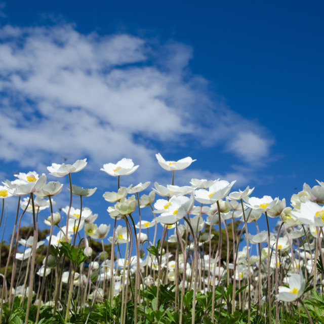 """""""White anemones at blue sky"""" stock image"""