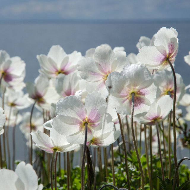 """""""White anemones from the back"""" stock image"""