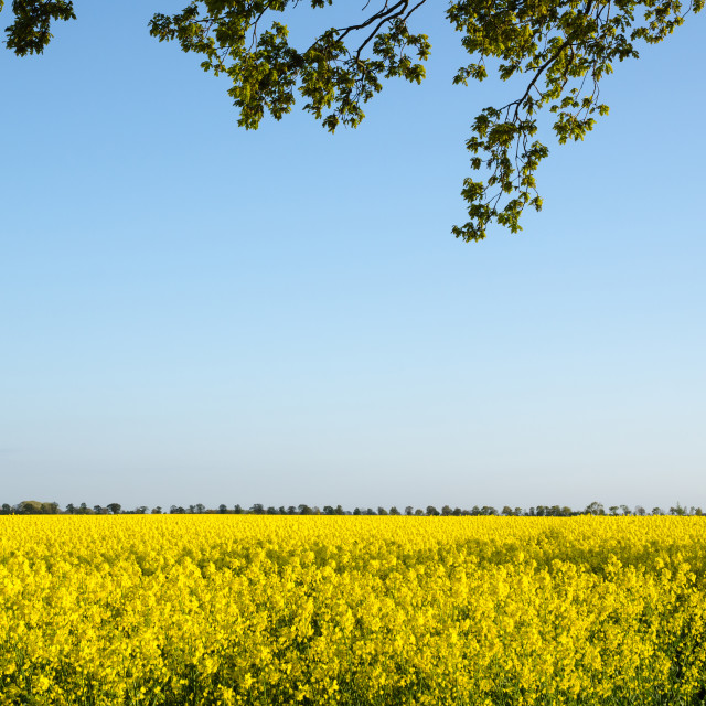"""Branches at blossom rapeseed field"" stock image"