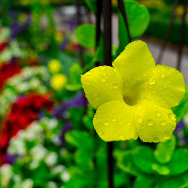 """A Single Yellow Flower"" stock image"