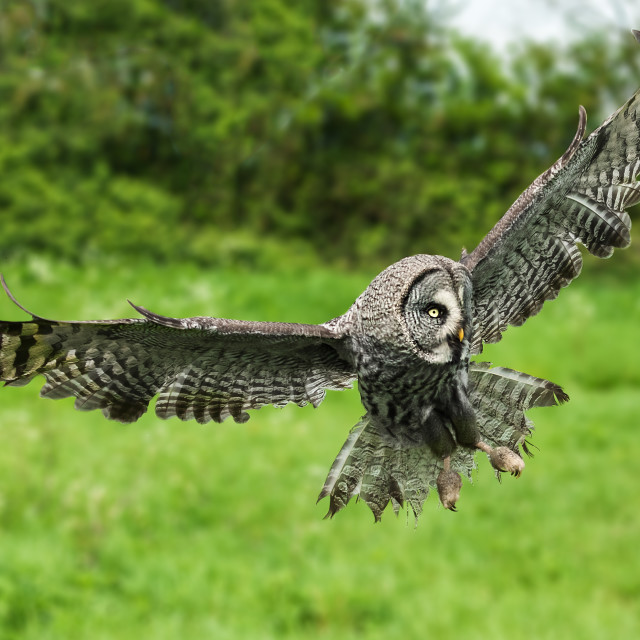 """Great grey owl in flight"" stock image"