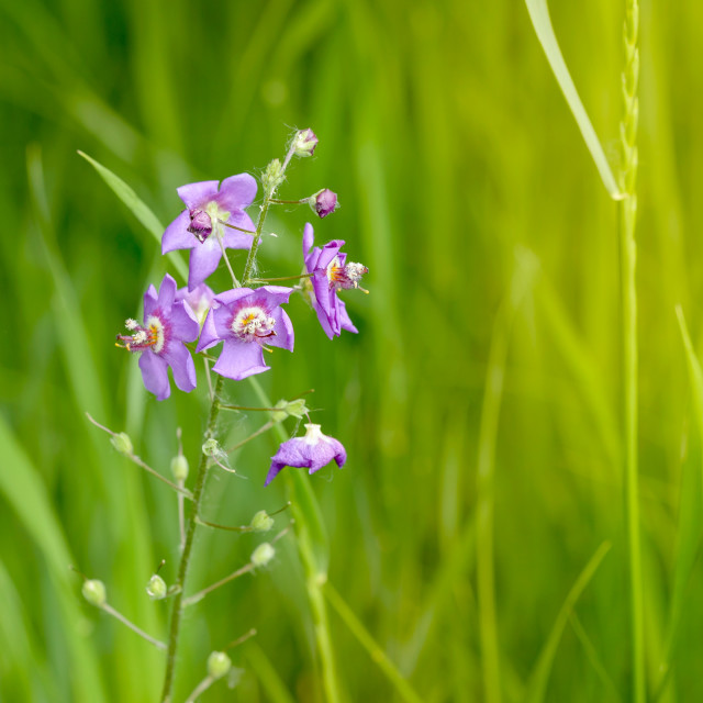 """Mauve Wildflower"" stock image"