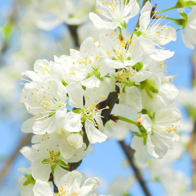 """fruit tree blossom"" stock image"