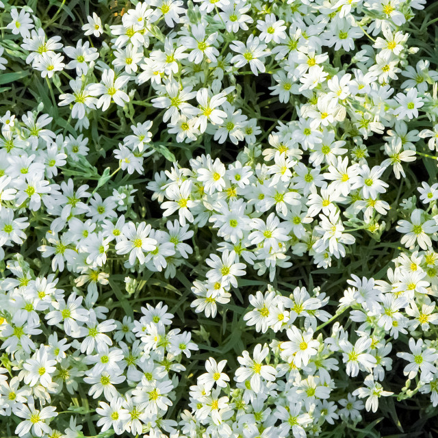 """""""white floral background"""" stock image"""