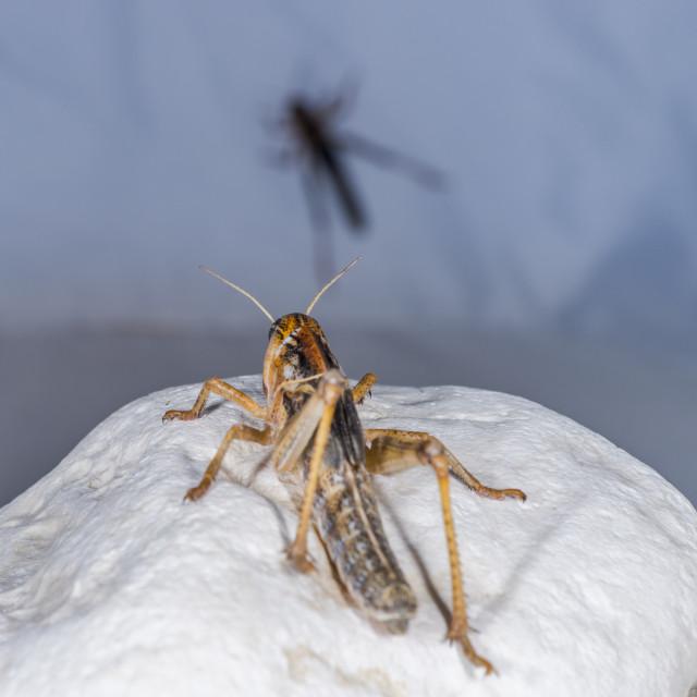 """Grasshopper on a rock."" stock image"