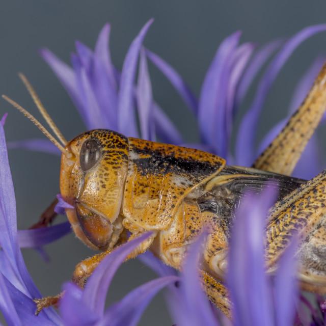 """Grasshopper sitting on a flower."" stock image"