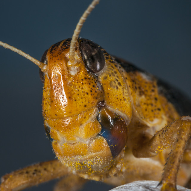 """Grasshopper Macro"" stock image"